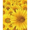 Promaster-Scenic Backdrops - 8' x 10' - Daisies #6959-Backgrounds