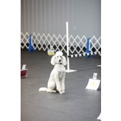 Poodle Obedience-Rally Trial 4-9-16