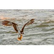 Wildlife with osprey