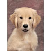 Puppy Jake Portraits 2015-2016